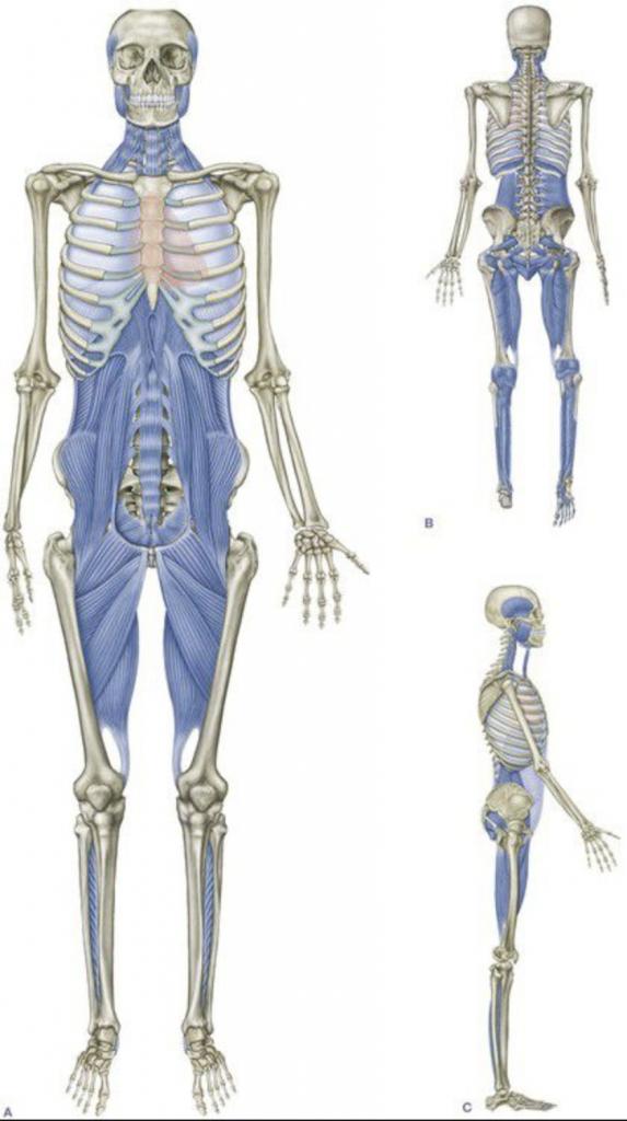Les fascias, organe clé d'une bonne santé Les fascias, organe clé d'une bonne santé (2)